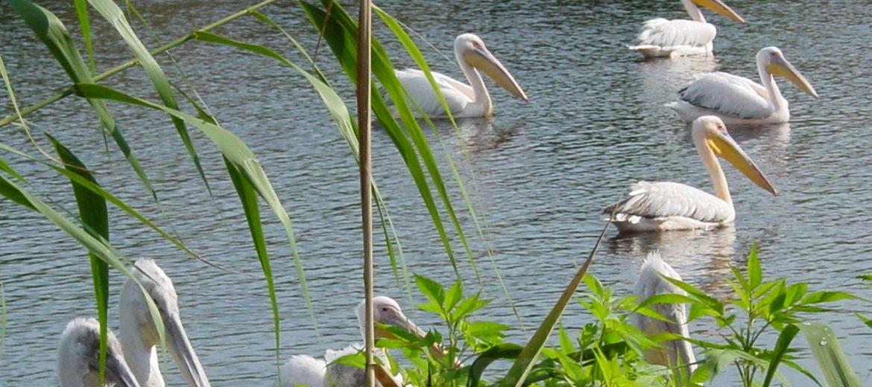 Сребърна пеликани