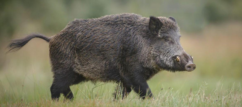 Нов случай на африканска чума по свинете в Смолянска област