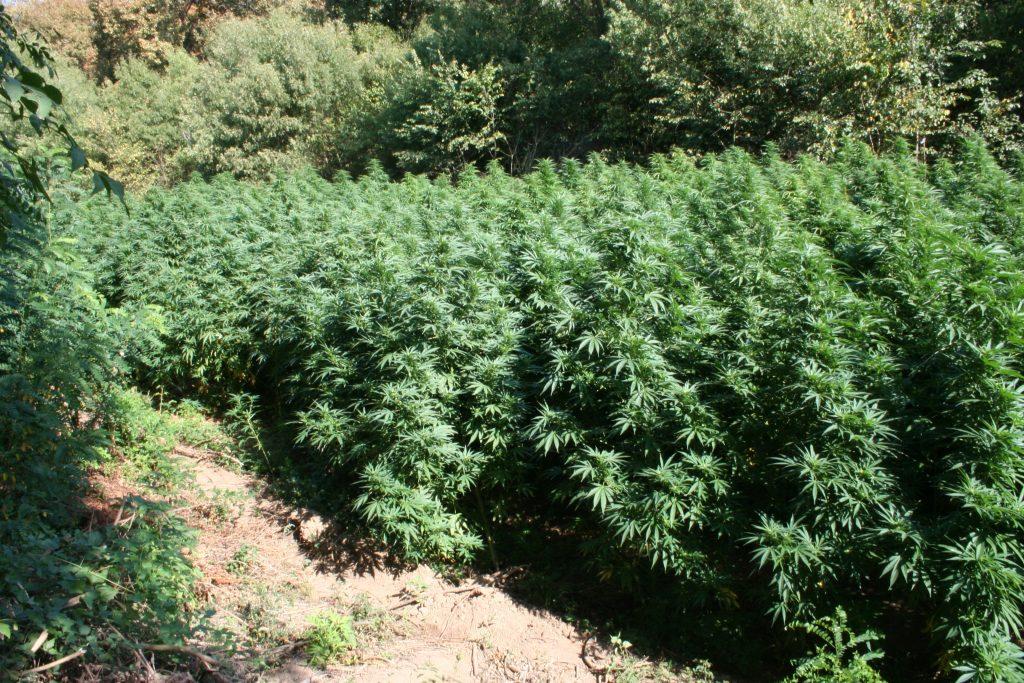 канабис, марихуана